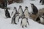 Humboldtpinguine Zoo KA DSC 6613