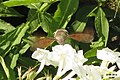 Hummingbird hawk-moth (NH327) (11129325574).jpg