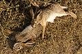 Hunting hare Lepus nigricollis MG 5312 01.jpg