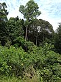 Hutan Alam Mandi Angin Minas Riau 05.jpg