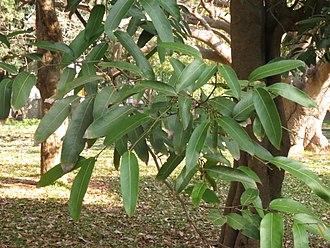 Hydnocarpus - Hydnocarpus alpina leaves