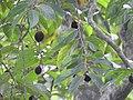 Hydnocarpus pentandra-1-thenmala-kerala-India.jpg