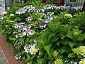 Hydrangea macrophylla near Idemitsu Bijutsukan (Idemitsu Museum of Arts) Station 2.JPG