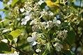 Hydrangea paniculata Kyushu 1zz.jpg