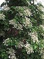 Hydrangea petiolaris01.jpg
