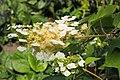 Hydrangea quercifolia Hortensja dębolistna 2018-06-10 01.jpg
