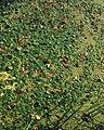 Hydrocharis morsus-ranae 1.jpg
