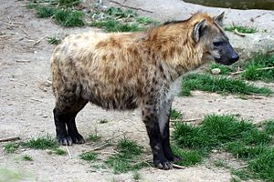 The Spotted Hyena, Crocuta crocuta, inhabits m...