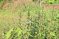 Hygrophila auriculata വയല് ചുള്ളി.JPG