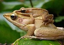 amphibian simple english wikipedia the free encyclopedia