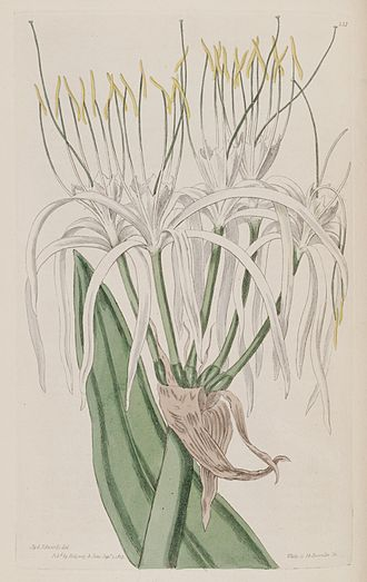 Hymenocallis caribaea - Hymenocallis caribaea