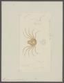 Hymenosoma gaudichaudii - - Print - Iconographia Zoologica - Special Collections University of Amsterdam - UBAINV0274 094 08 0004.tif