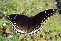 Hypolimnas bolina - Great Eggfly at Thillankeri 06.JPG