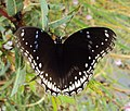 Hypolimnas bolina - Great Eggfly at Thillankeri 19.JPG