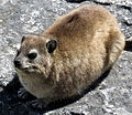 Hyrax on the Rocks.JPG