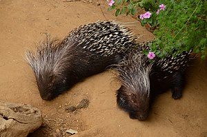Cape porcupine - Image: Hystrix africaeaustralis Blijdorp Rotterdam