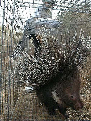 Indian crested porcupine - H. indica in a trap