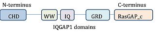 IQGAP1 - IQGAP1 protein