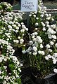 Iberis Candytuft plants growing in NJ in April.jpg