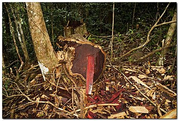 English: Stump and log of illegally cut rosewo...