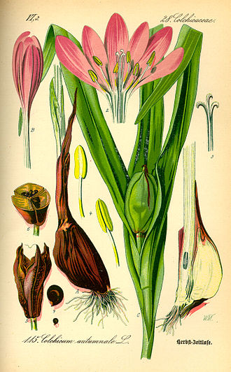 Colchicum autumnale - Image: Illustration Colchicum autumnale 0