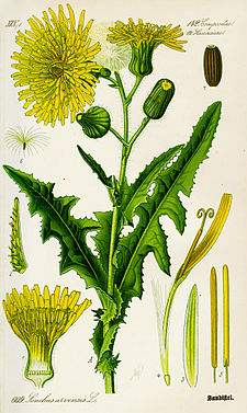 Illustration Sonchus arvensis0.jpg