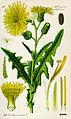 Illustration Sonchus arvensis0.jpg