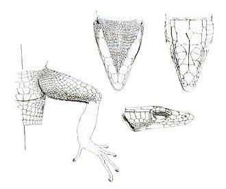 Platysaurus - P. capensis, views of head and hind limb