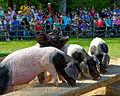 Im Wildpark Bad Mergentheim genießen auch die Nutztiere großes Interesse beim begeisterten Publikum. 10.jpg