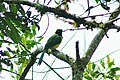 Inca Jay (Cyanocorax yncas), Cabañas San Isidro, Ecuador 2015-06-12 (7) (26456559488).jpg