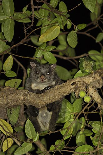 Ficus racemosa - Indian Giant Flying Squirrel feeding on figs at Polo forest, Gujarat, India