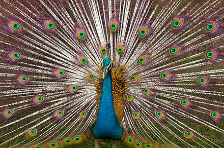 A typical Indian peacock, found in Allahabad on a large scale Indian Peacock Plumage.jpg