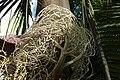 Infrutescencia de palma de Cunningham (Archontophoenix cunninghamiana) (14603743658).jpg
