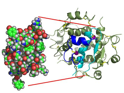 The structure of insulin. The left side is a space-filling model of the insulin monomer, believed to be biologically active. Carbon is green, hydrogen white, oxygen red, and nitrogen blue. On the right side is a ribbon diagram of the insulin hexamer, believed to be the stored form. A monomer unit is highlighted with the A chain in blue and the B chain in cyan. Yellow denotes disulfide bonds, and magenta spheres are zinc ions. InsulinMonomer.jpg
