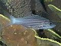 Intermediate cardinalfish (Cheilodipterus intermedius) (47503464822).jpg