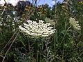 Invasive Queen Anne's Lace (35854252932).jpg