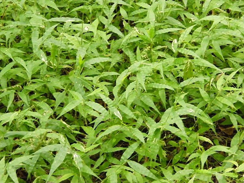 File:Invasive Wavyleaf Basketgrass (7508036864).jpg