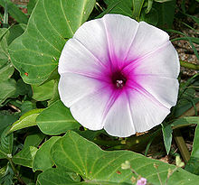 Ipomoea aquatica (Marsh Glory) flower W IMG 0405.jpg