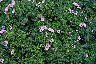Ipomoea cairica - Image: Ipomoea cairica near Hyderabad W IMG 4798