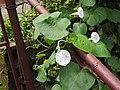 Ipomoea tricolor-1-yercaud-salem-India.jpg