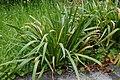 Iris foetidissima Poitiers 1.jpg