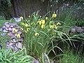 Iris pseudacorus in a garden.jpg