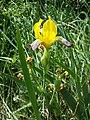 Iris variegata sl56.jpg