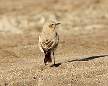 Isabelline wheatear showing black tail
