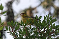 Israel. European Greenfinch (15397293566).jpg