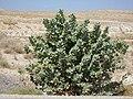 Israel Judean desert calotropis procera.jpg