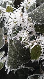 Ivy and Frost 24.jan.2017.jpg