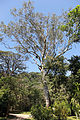 JBRJ Eucalipto-comum.jpg