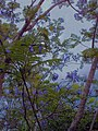 Jacaranda flowers and approaching evening showers... - panoramio.jpg