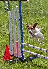 Ποιες είναι οι παθήσεις του Jack Russel Terrier;